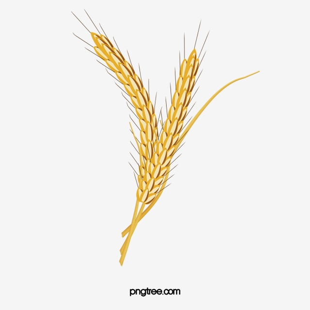 Wheat Png, Vector, PSD, and Clipart With Transparent Background for.