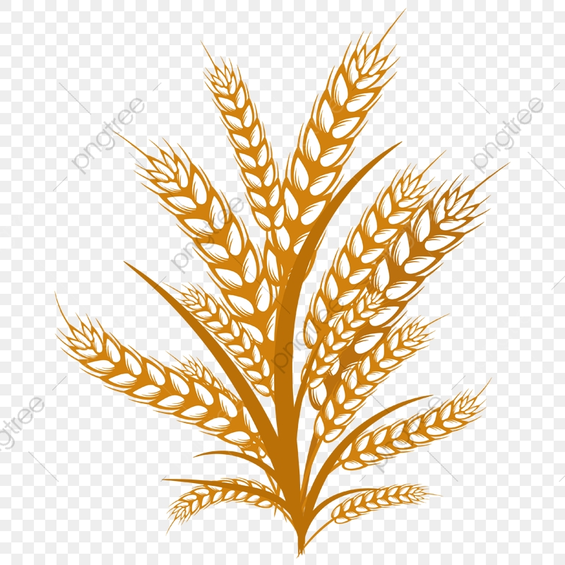 Wheat Illustration, Wheats, Fields, Happy Thanks Giving PNG and.
