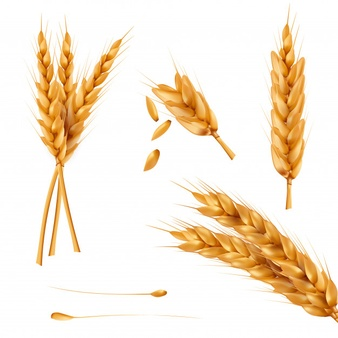 Wheat Vectors, Photos and PSD files.