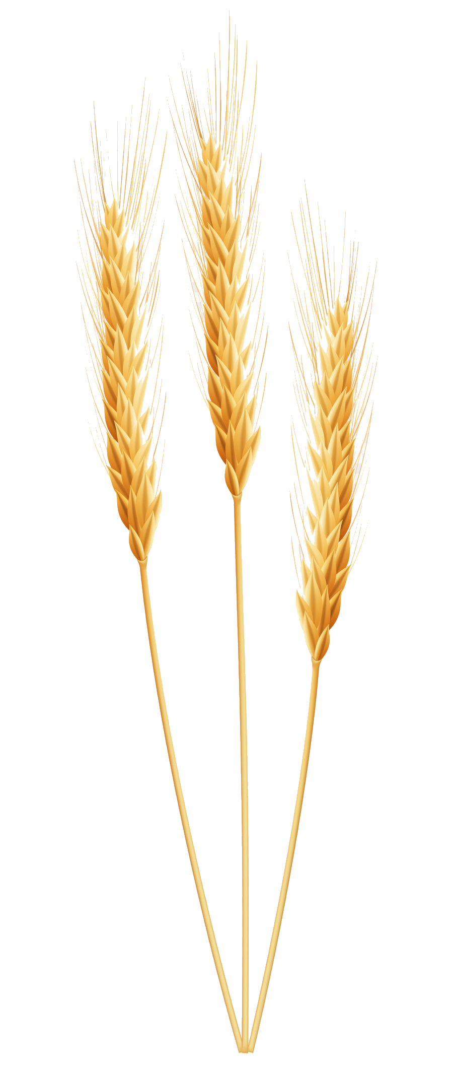 Wheat Clipart Wheet Free On Transparent Png.
