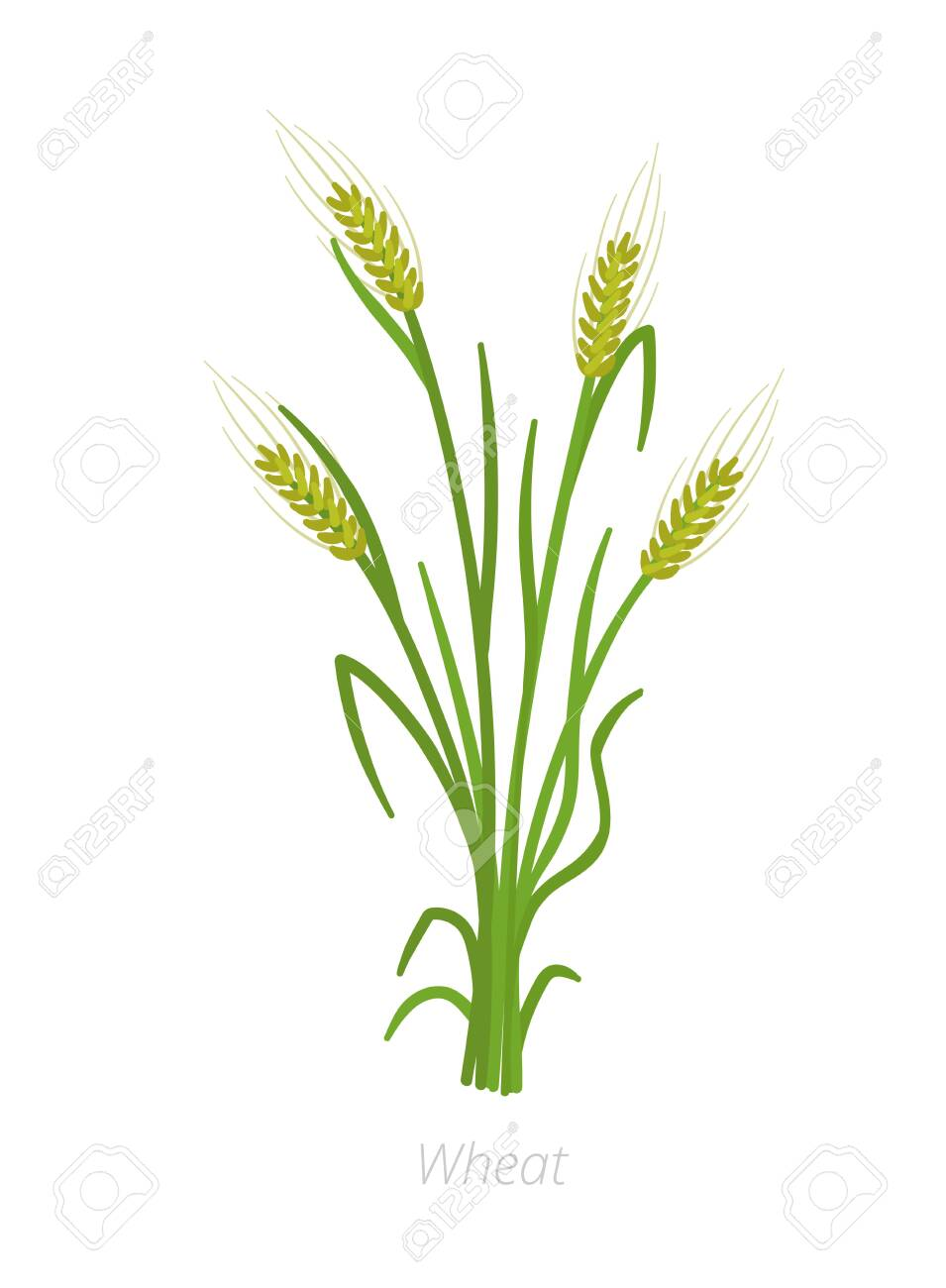 Rye, barley or wheat plant. Vector illustration. Secale cereale.