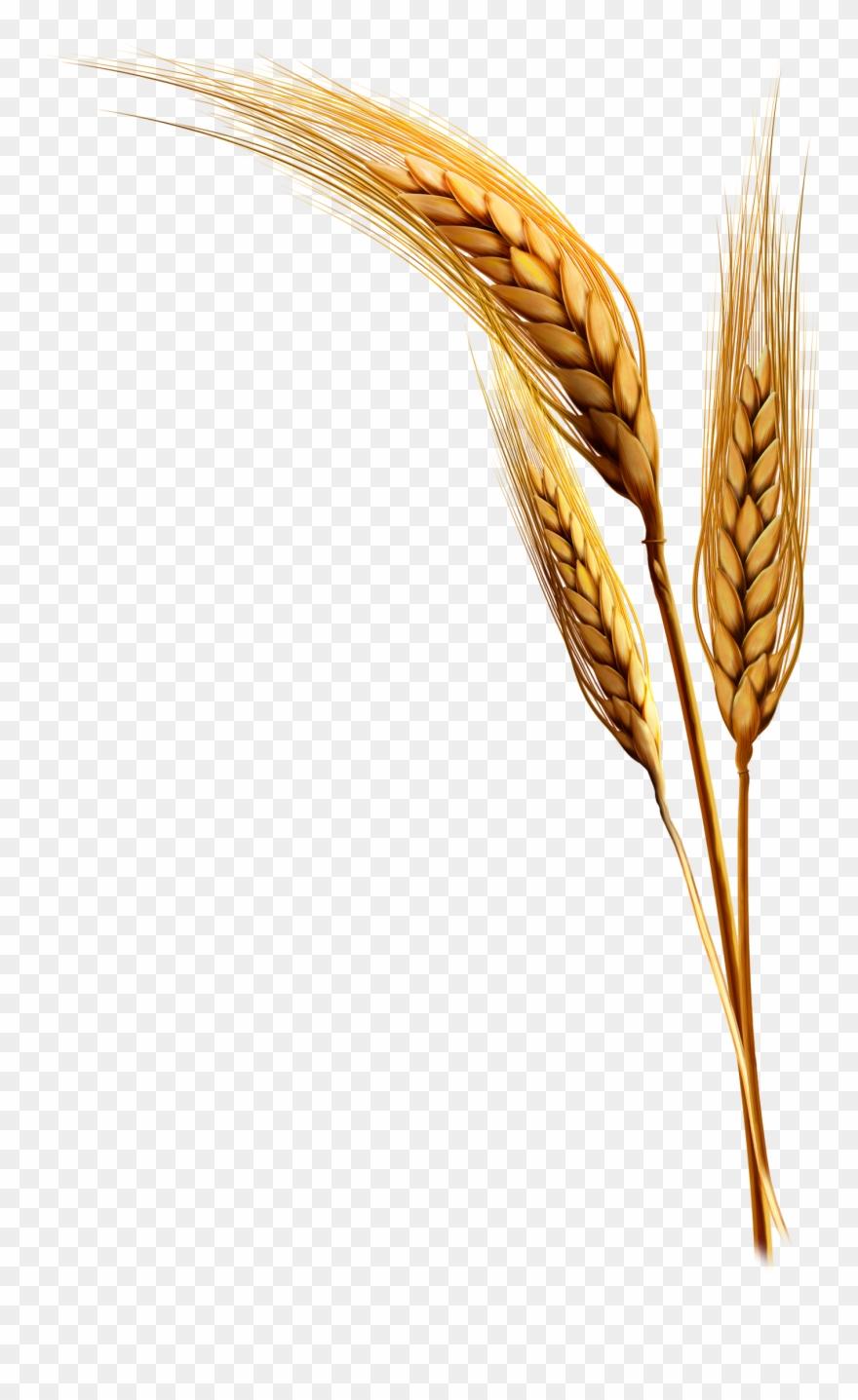 Emmer Rice Clip Art Transprent Png Free.