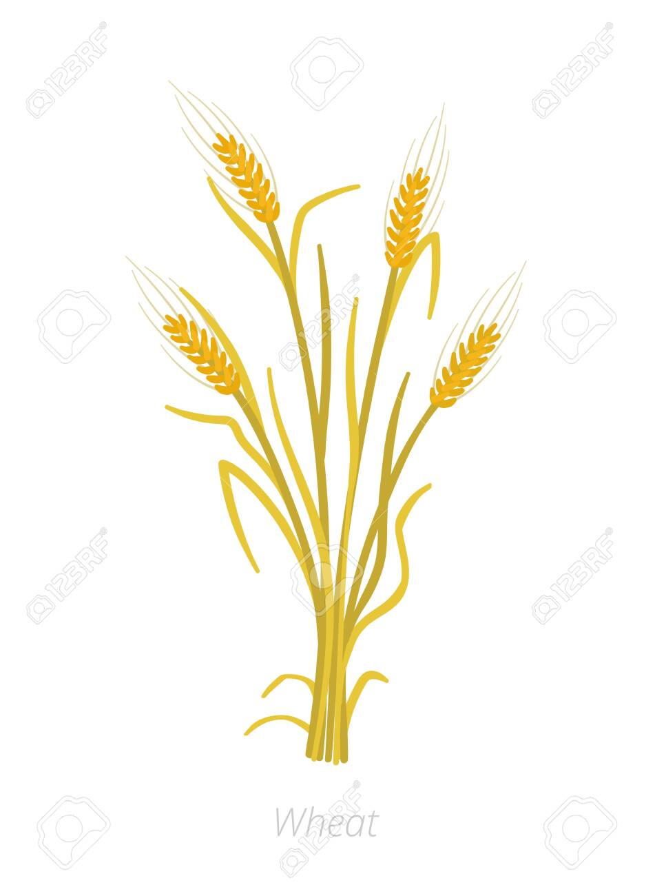 Rye, barley or wheat plant ripe. Vector illustration. Secale...
