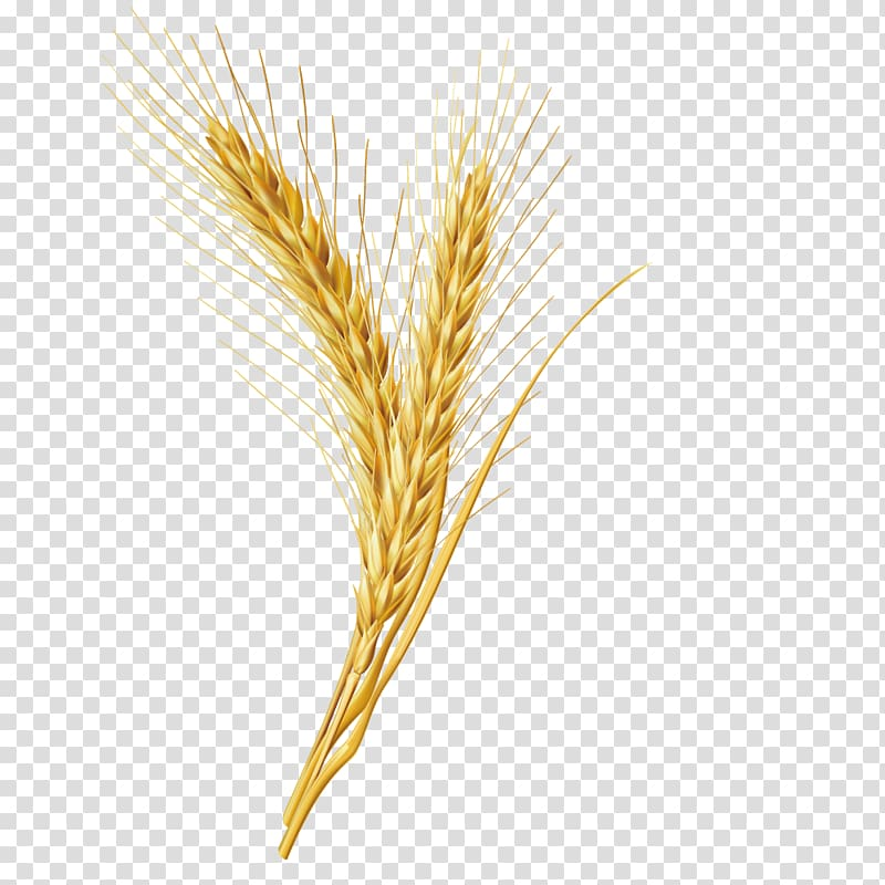 Wheat plant illustration, Emmer Cereal Grain, wheat grains.