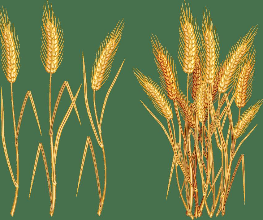 Grain clipart wheat plant, Grain wheat plant Transparent.