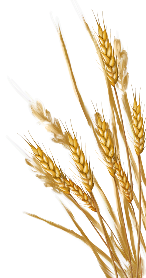 Wheat PNG Transparent Images.
