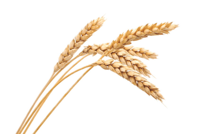 Wheat Spikes transparent PNG.