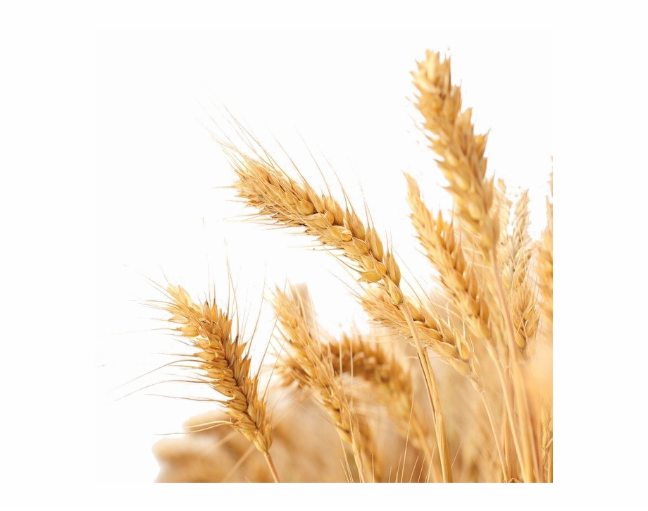 Wheat Png Image Background Transparent Background Wheat Png.