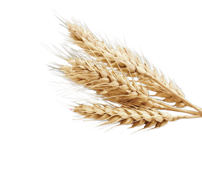 Wheat PNG Image.