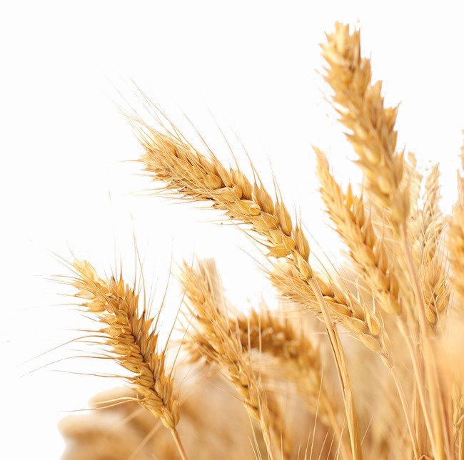 Wheat PNG Transparent Images, Pictures, Photos.