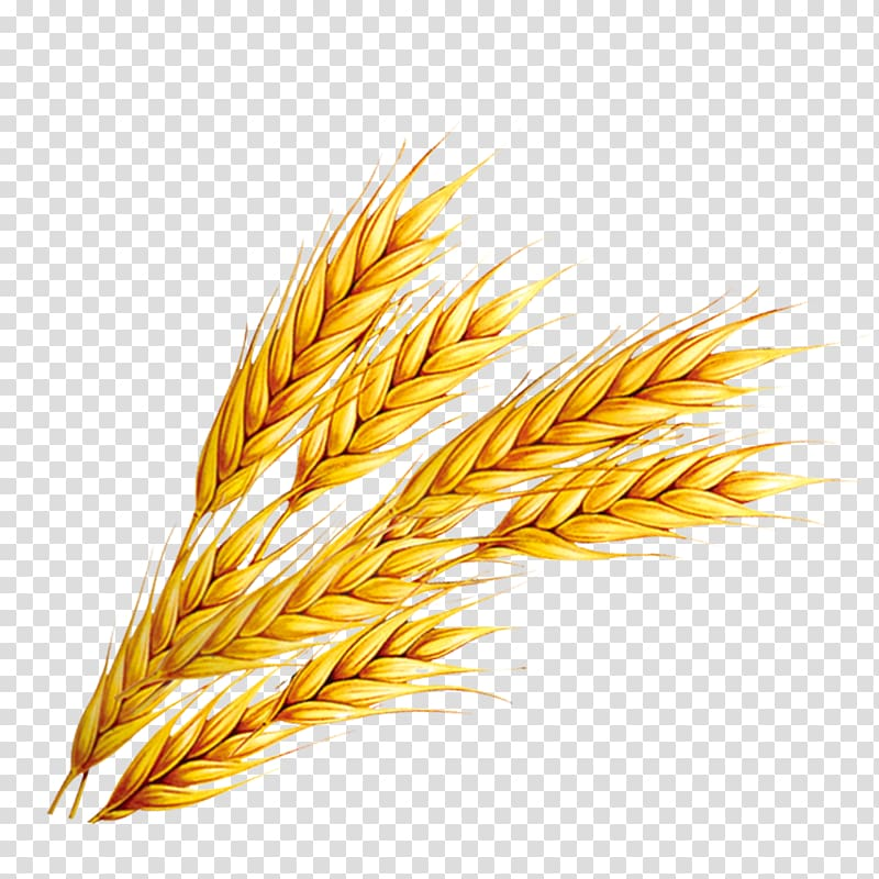 Wheat illustration, Rice Wheat, Wheat transparent background PNG.