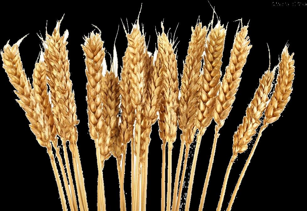 Grain Clipart Wheat Shock.
