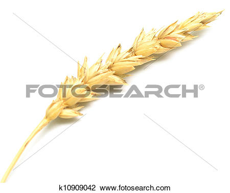 Stock Photo of wheat spike k10909042.