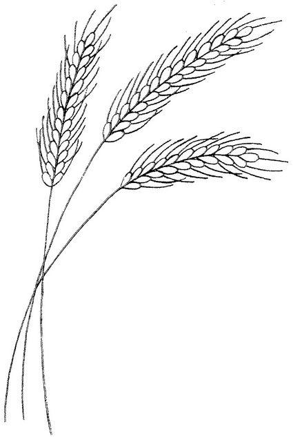 87 WB wheat.