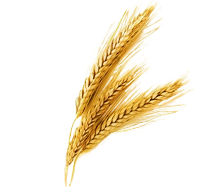 Wheat Transparent PNG Clipart Images Free Download.