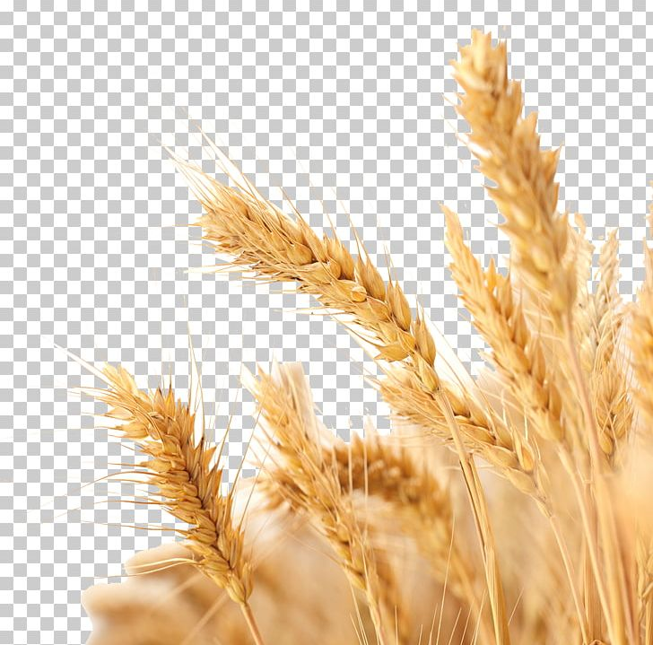 Wheat Harvest Crop PNG, Clipart, Agriculture, Avena, Cereal.