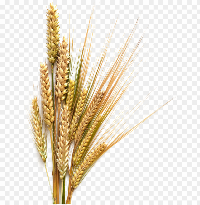 royalty free sheaf of wheat clip art, vector images.