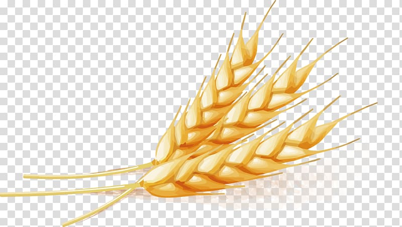 Three wheat leaves illustration, Wheat, Wheat transparent.