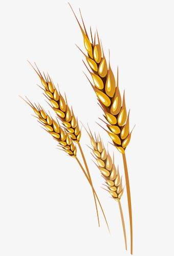 Wheat Vector, Wheat Clipart, Vector Material, Wheat Vector Material.