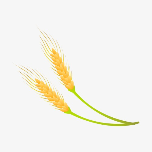 Wheat Vector, Wheat, Paddy, Vector PNG and Vector with Transparent.