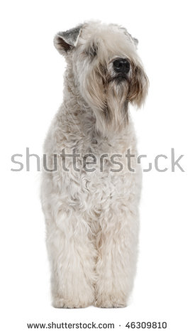 Wheaten terrier clipart #14