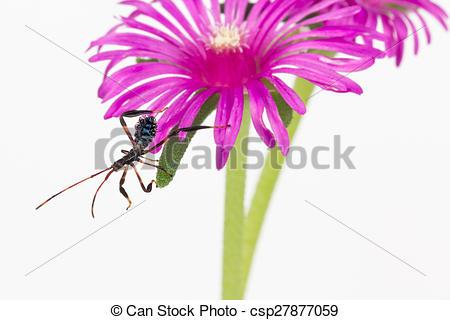 Stock Images of Wheel bug juvenile on flower.