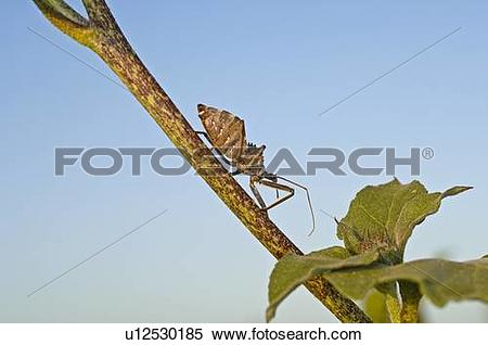 Stock Image of A wheel bug crawling across a tree limb u12530185.