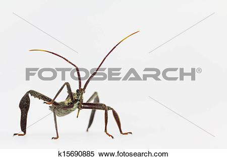 Stock Image of Wheel bug adult macro k15690885.