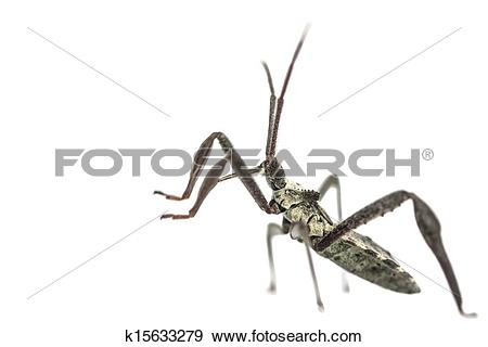 Stock Photograph of Young adult wheel bug macro k15633279.