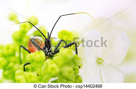Stock Image of Red wheel bug in flower cluster.