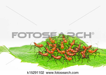 Stock Photo of Red wheel bug insects k15291102.