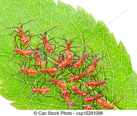 Stock Photographs of Red wheel bug insects.