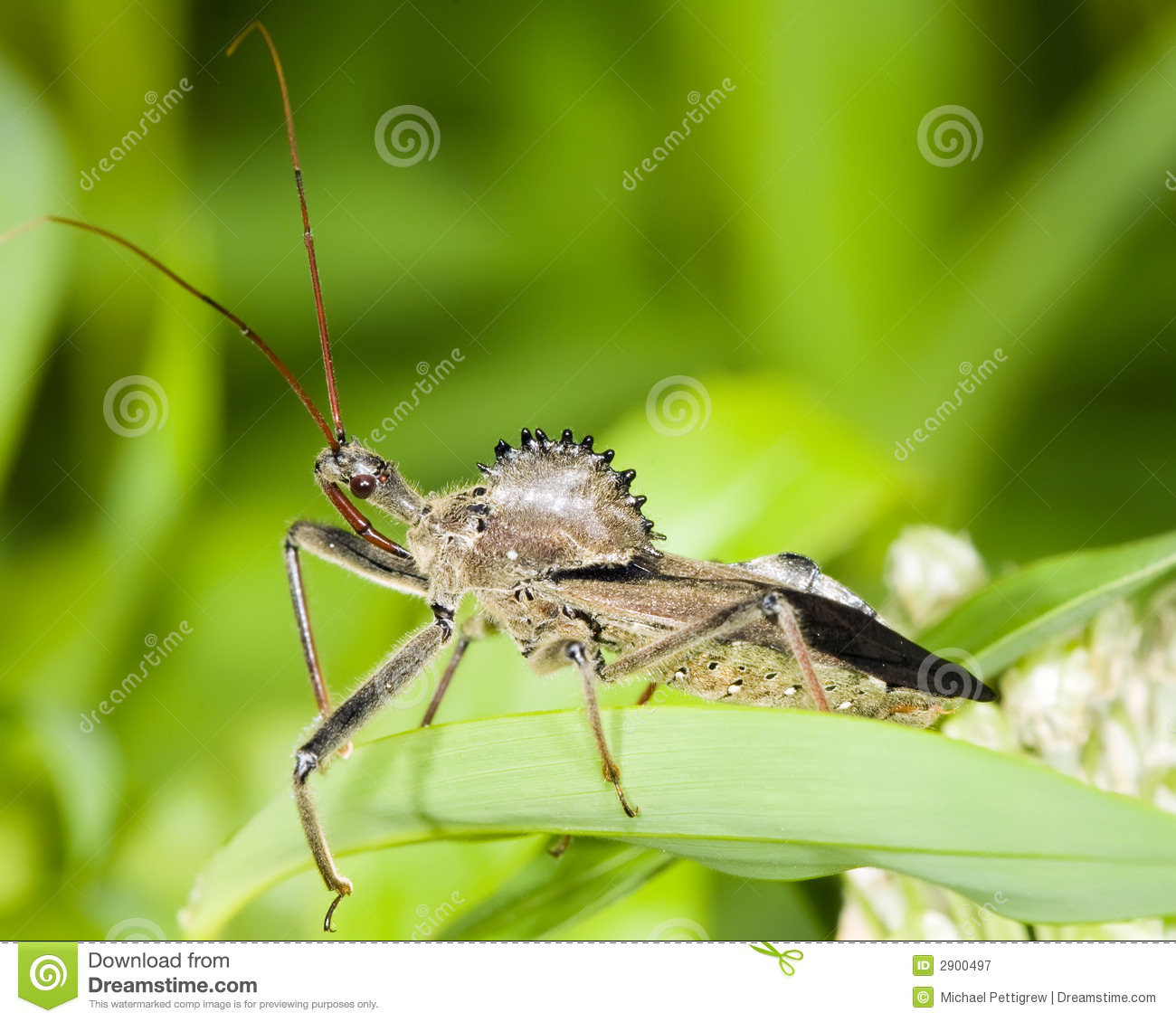 Wheel Bug Royalty Free Stock Photography.