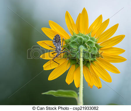 Pictures of Wheel bug (Arilus cristatus) on sunflower.