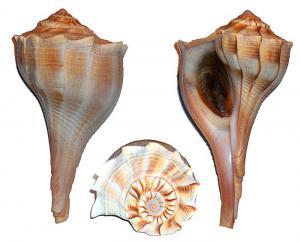 Shell And Shellfish Clip Art Download.