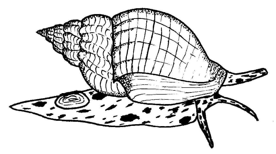 Whelks Buccinum.