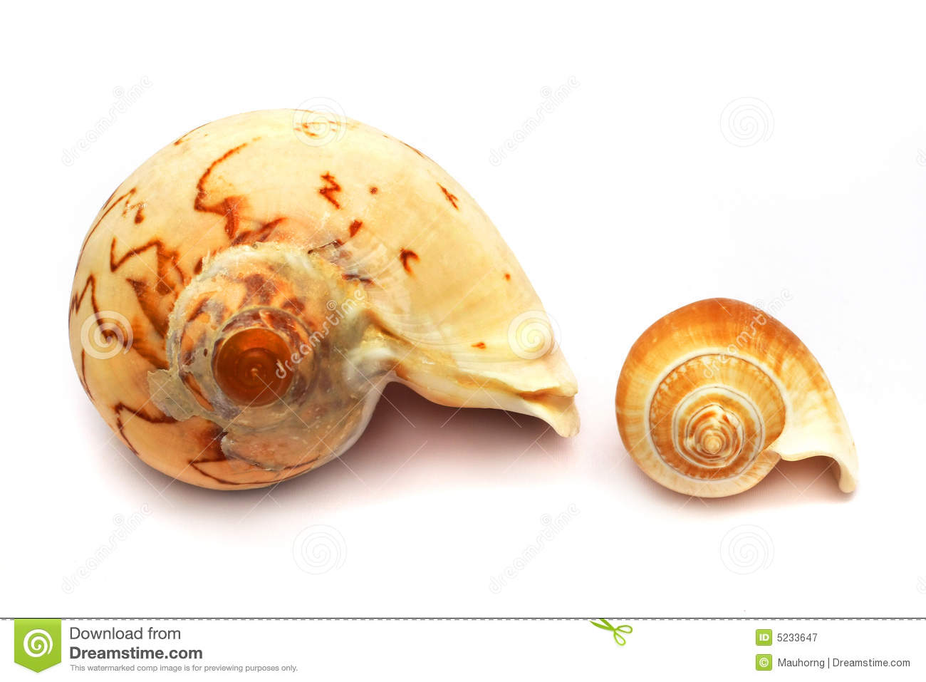 Whelk Stock Photos, Images, & Pictures.