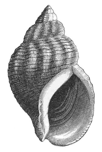 Shell Clip Art Download.