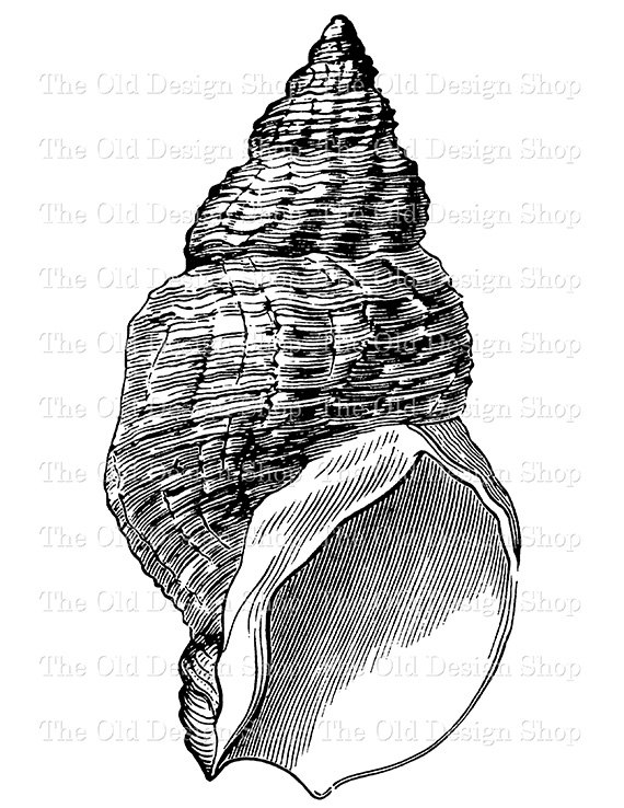 Whelk Shell Clip Art Vintage Printable Sea Nautical Illustration.