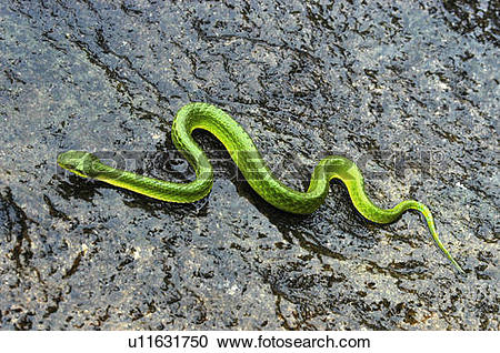 Stock Photography of tree nature vine snake rock reptiles snakes.