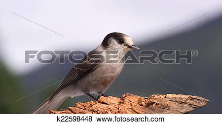 Pictures of Grey Jay Whiskey Jack Bird Watching Animal Wildlife.