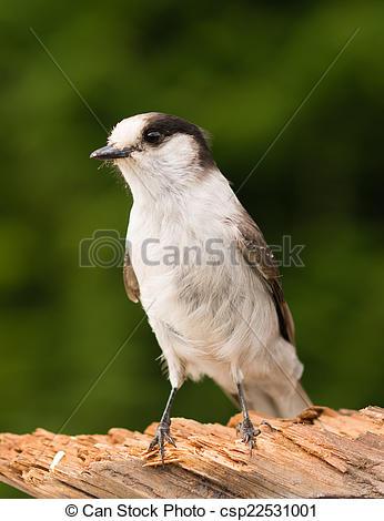 Stock Photography of Grey Jay Whiskey Jack Bird Watching Animal.