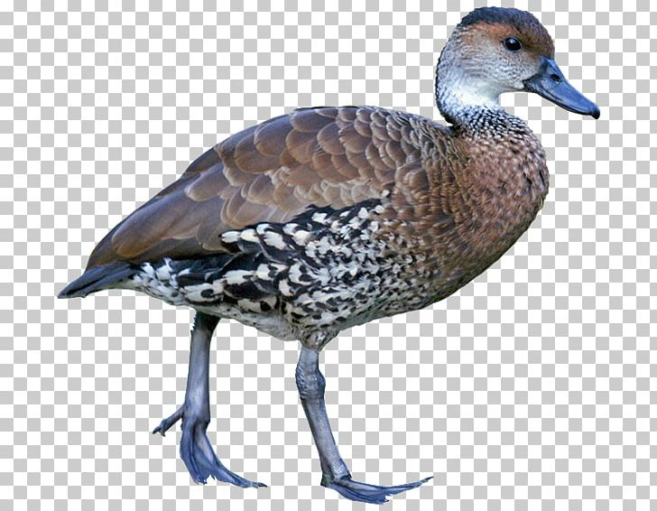Goose West Indian Whistling Duck Whistling Ducks Fulvous.
