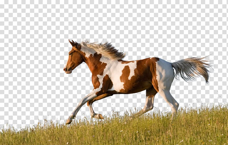 White and brown horse running on grass, American Paint Horse.