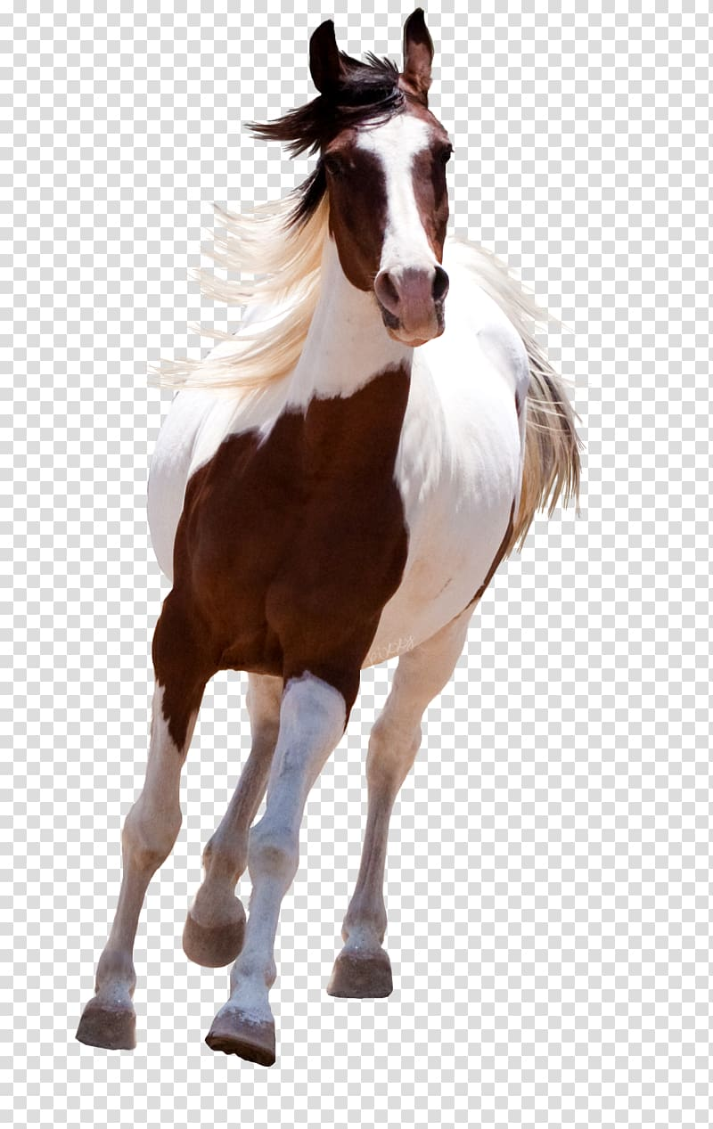 Brown and white horse, Mustang American Paint Horse Standing.