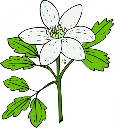 Anemone Piperi Windflower clip art Free Vector.
