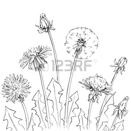 1,043 Dandelion White Background Stock Vector Illustration And.