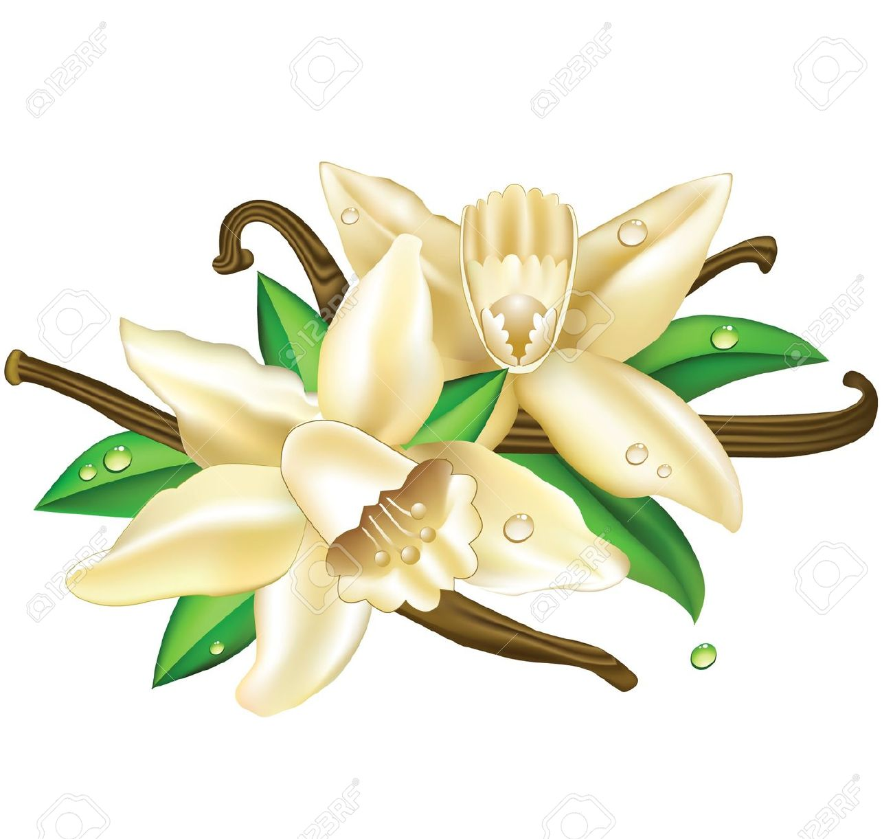 Vector Illustration Vanilla Flowers Royalty Free Cliparts, Vectors.