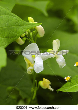 Stock Photography of White bean flowers 920001.