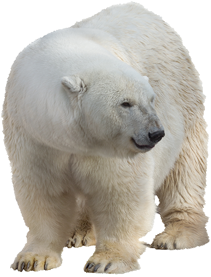 White Bear PNG Pic Background.